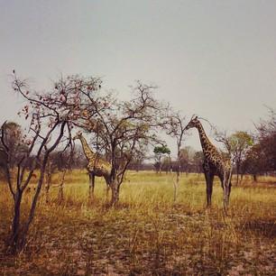 giraffes copy copy